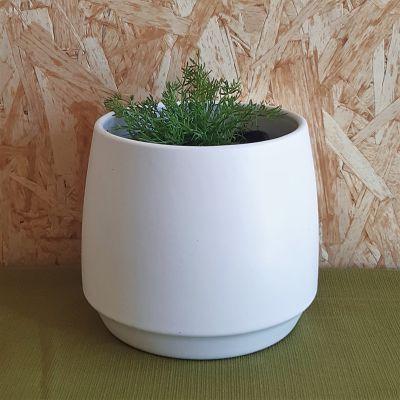 camomille romaine plante vivace francaise
