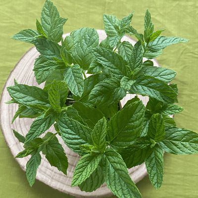 menthe verte plante aromatique vivace