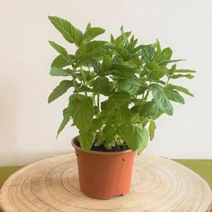menthe verte plante aromatique vivace francaise