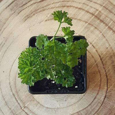persil frisé plante aromatique