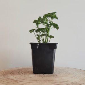 persil plante aromatique cuisine