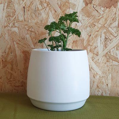 persil frisé plante aromatique francaise
