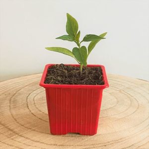 piment espelette plante vivace