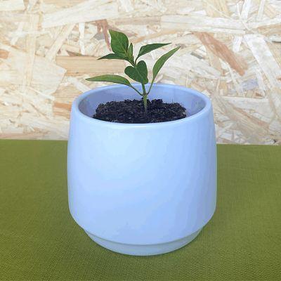piment espelette plante doux