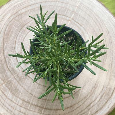 romarin plante aromatique vivace cuisine