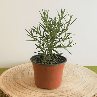 romarin plante aromatique vivace