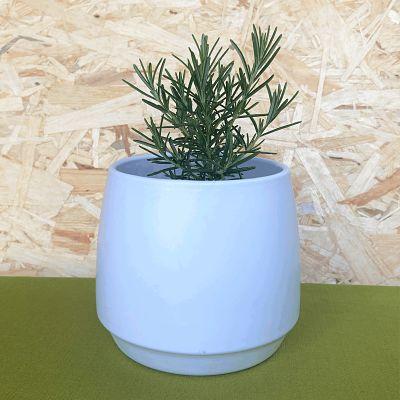 romarin plante aromatique vivace francaise