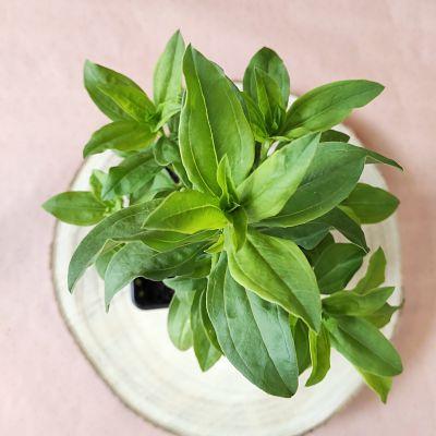 cadeau fete meres saponaire plante france