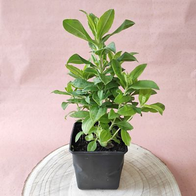 cadeau fete meres plante fleurie saponaire ecoresponsable
