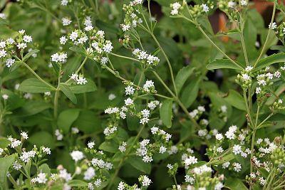 stevia stévia plante sucre jardinage bio