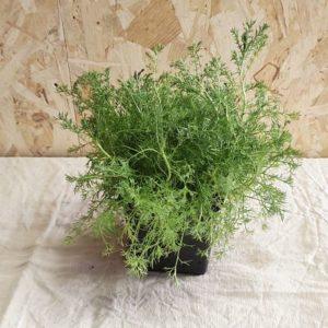 camomille romaine plante ecoresponsable jardinage