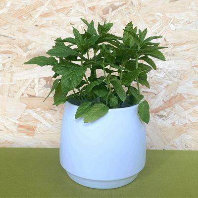 menthe verte plante aromatique parfumee
