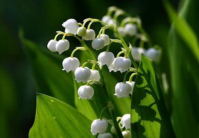 La plante du mois de mai : le muguet, conseils jardinage