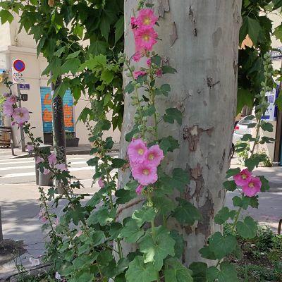 rose trémière conseils jardinage plante