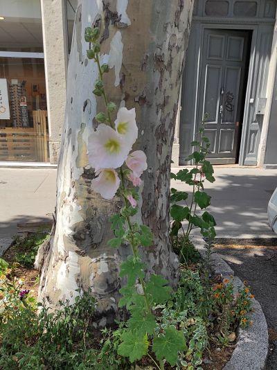 rose trémière conseils jardinage plante comestible