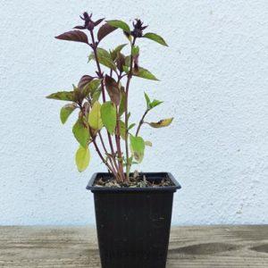 basilic cannelle plante aromatique