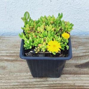 delosperma lineare plante grasse vivace