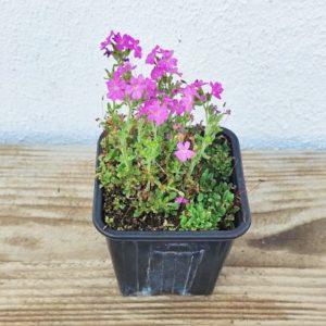 erinus alpinus plante vivace ecoresponsable