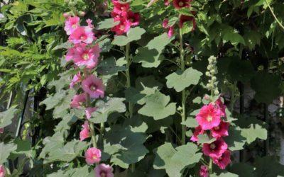 La plante du mois : la rose trémière, conseils de jardinage et découverte