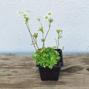 saxifrage plante vivace fleurs blanches ecoresponsable