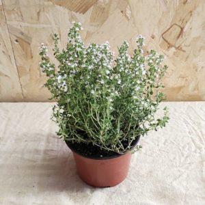thym plante aromatique ecoresponsable vivace