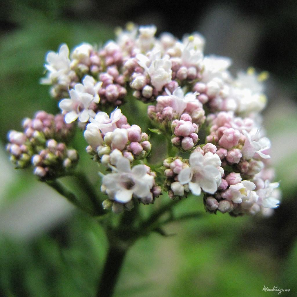 valériane plante fleurie médicinale ecoresponsable
