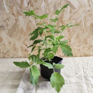 valeriane officinale plante vivace jardinage ecoresponsable