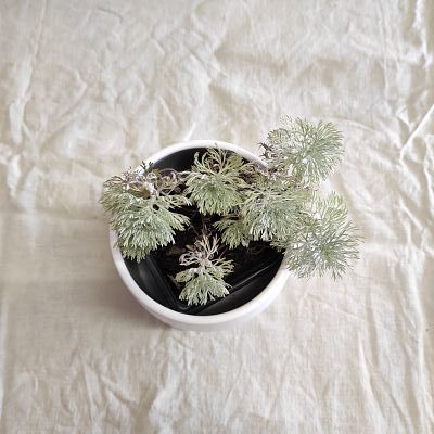Artemisia schmidtiana plante ecoresponsable