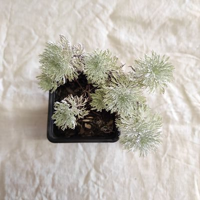 Artemisia schmidtiana plante nana