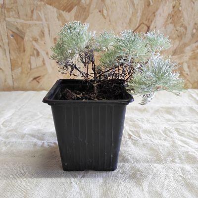 Artemisia schmidtiana plante vivace grise
