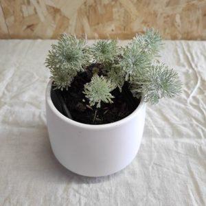 Artemisia schmidtiana plante vivace