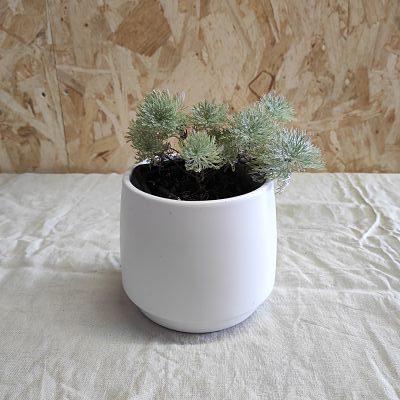 Artemisia schmidtiana plante vivace francaise