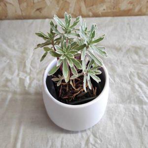 Euphorbia characias plante vivace grasse