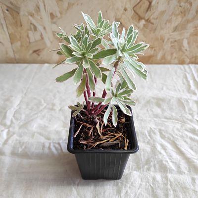 Euphorbia characias plante grasse francaise