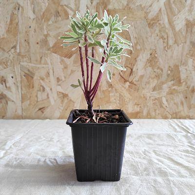 Euphorbia characias plante vivace francaise