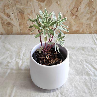 Euphorbia characias plante vivace
