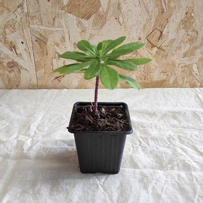 euphorbe robbiae plante cultivee en france vivace