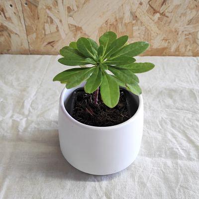 Euphorbe robbiae plante grasse vivace