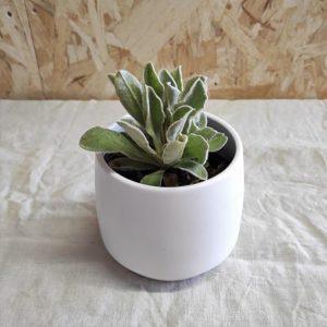 Lychnis coronaria 'Alba' plante vivace