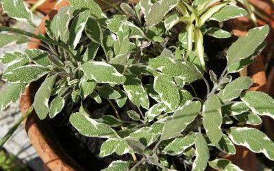 La sauge tricolore, conseils de jardinage pour votre plante