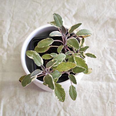 sauge officinale tricolore plante francaise