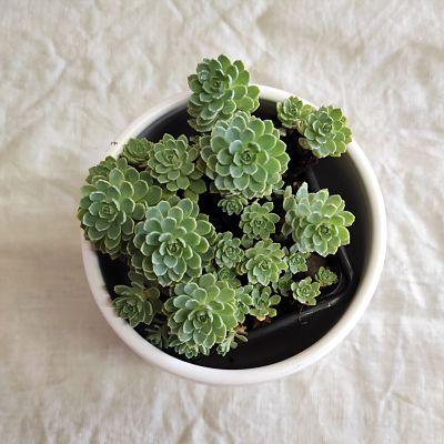 sedum pachyclados plante grasse facile