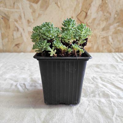 sedum pachyclados plante grasse vivace facile