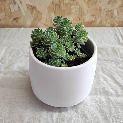 sedum pachyclados plante grasse vivace