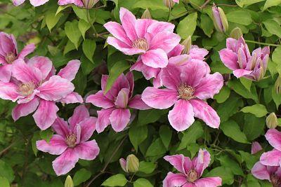 clématite fleur plante grimpante rose