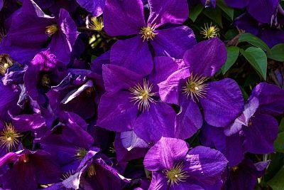 clématite fleur plante grimpante violet