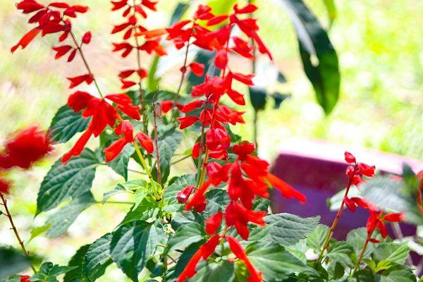 sauge ananas jardinage plante aromatique vivace