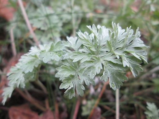 absinthe plante aromatique vivace