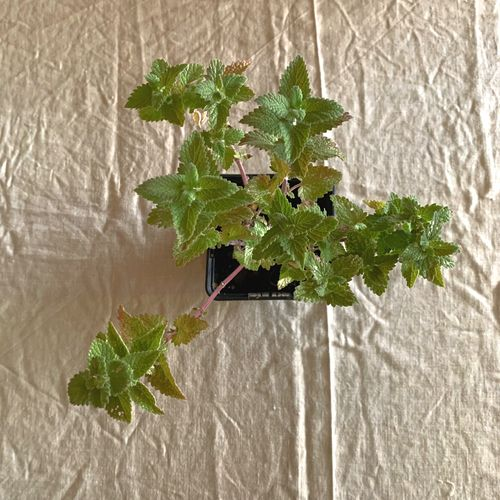 nepeta plante aromatique