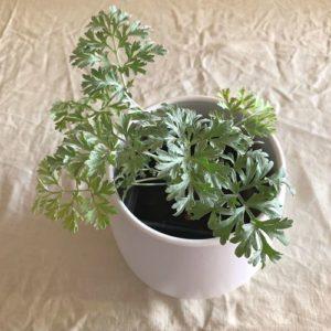 absinthe plante aromatique